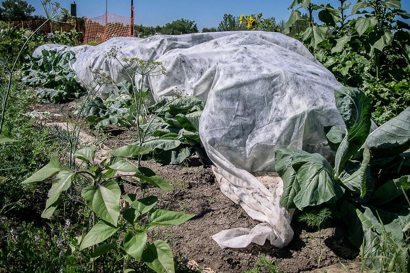 Row covers offer frost and insect protection