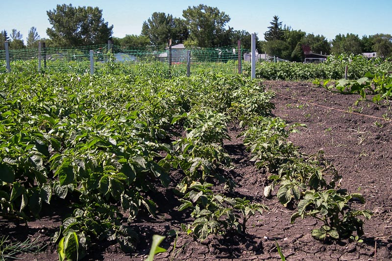 Potato plants stunted by RoundUP used in the garden to the right of the string. The effect spread close to 1 meter in the adjoining garden.